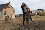 "J Stanley leads an alpaca to get sheared during ""Shear-A-Palooza"" at the Tenacious Unicorn Ranch,"