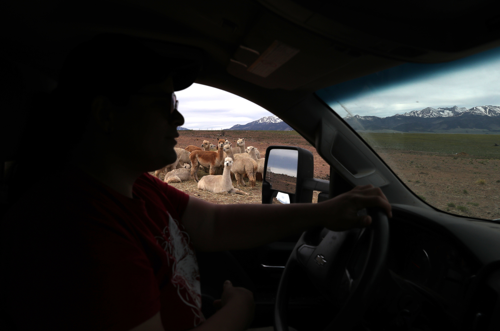 A group of alpaca watch as Bonnie Nelson drives past them on the ranch.