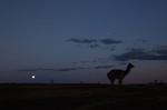 Pepe, a well-known vicuna on the ranch, is silhouetted as a full moon rises on the Tenacious Unicorn Ranch in Westcliffe, Colorado.