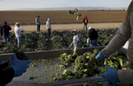 Louis Mendoza, left, and Will Martinez, right, collect and box broccoli as it gets tossed to them from workers, from left of Mendoza, Jose Santo, Nelson Villanueva, Miguel Hernandez, Louis Cornejo, Jose Francisco Cornejo and Jairo Alvarado while they harvest from a block on Pappas & Co farm April 18, 2014 in Mendota, Calif. The historic drought combined with zero percent water allocation for farmers in the San Joaquin Valley means that many farmers are fallowing fields and many field workers are unemployed. In Mendota, a rural city of about 11,000 people about 35 miles west of Fresno, the jobless rate is 36 percent.