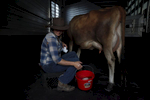 "Doniga Markegard, 33, cleans a cow's udder thoroughly during the morning milking of her few dairy cows for a small raw milk business she runs Nov. 4, 2014 on her leased land in Half Moon Bay, Calif. The Markegards started their grass-fed business nine years ago on 1,000 acres of land they've leased for years in Half Moon Bay. As the drought worsened this year, they saw their 16 water sources shrink to just one. They've had to move their 4-500 head of cattle to land leased off the property because all of the water sources on their land have dried up, including the spring that used to provide water for their home. Now they have to haul in water for their family once about every three weeks. ""We watch every drop,"" said Doniga about their water conservation. If the drought does not let up, the couple will be forced to sell the herd they've been building for 10 years."