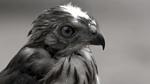 Lao-Falcon-Photo-by-Cyril-Eberle