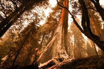 A firefighter sprays a mix of foam and water to extinguish a fire burning inside a hundred years old cedar tree.as the Caldor fire rages near by on August 27, 2021, in the Eldorado National forest, California. The Caldor Fire has burned over 165,000 acres, destroyed over 660 structures and is currently 14 percent contained.