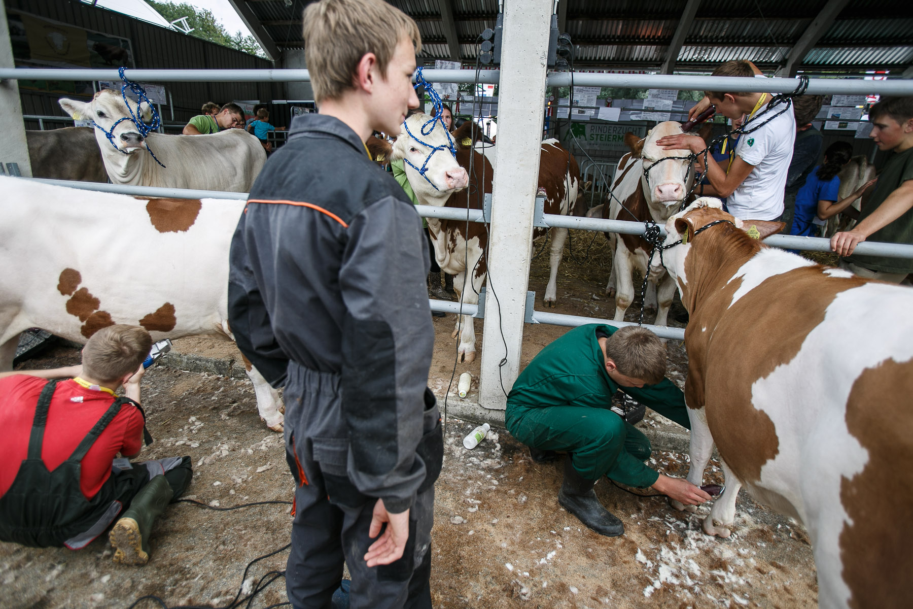 Students from the International School of Young Breeders sheer cows during a livestock preparation presentation at the 53rd agricultural fair Agra in Gornja Radgona, Slovenia, Aug. 22, 2015.