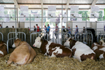 Cows rest at the 53rd agricultural fair Agra in Gornja Radgona, Slovenia, Aug. 22, 2015.