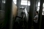 A lipizzaner horse waits in the stall for his performance at the 53rd agricultural fair Agra in Gornja Radgona, Slovenia, Aug. 22, 2015.