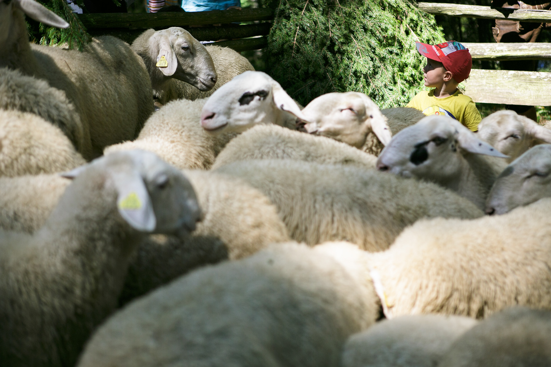 A boy is seen among the sheeps during during the 57th annual Shepherd\'s Ball in Jezersko, Slovenia.