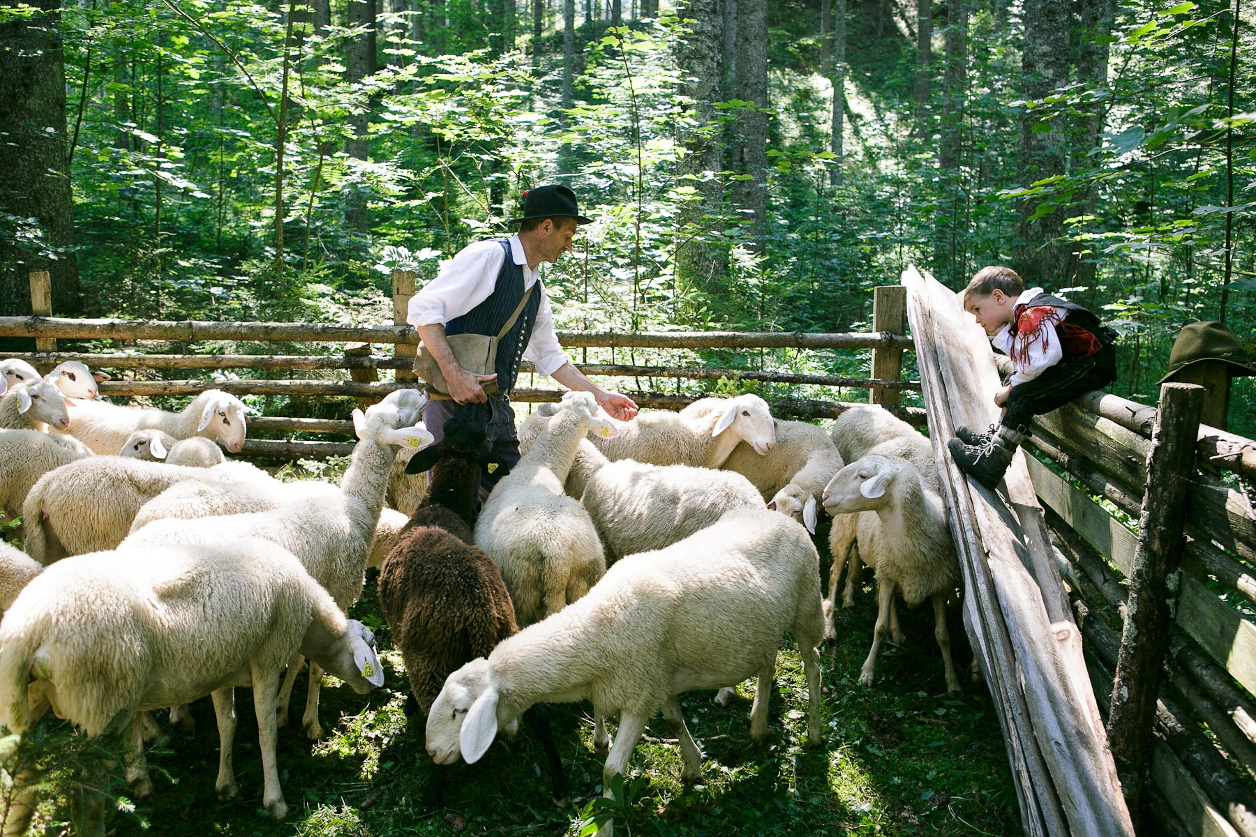 A shepherd and his son tend to the sheep before the 57th annual Shepherd\'s Ball in Jezersko, Slovenia.