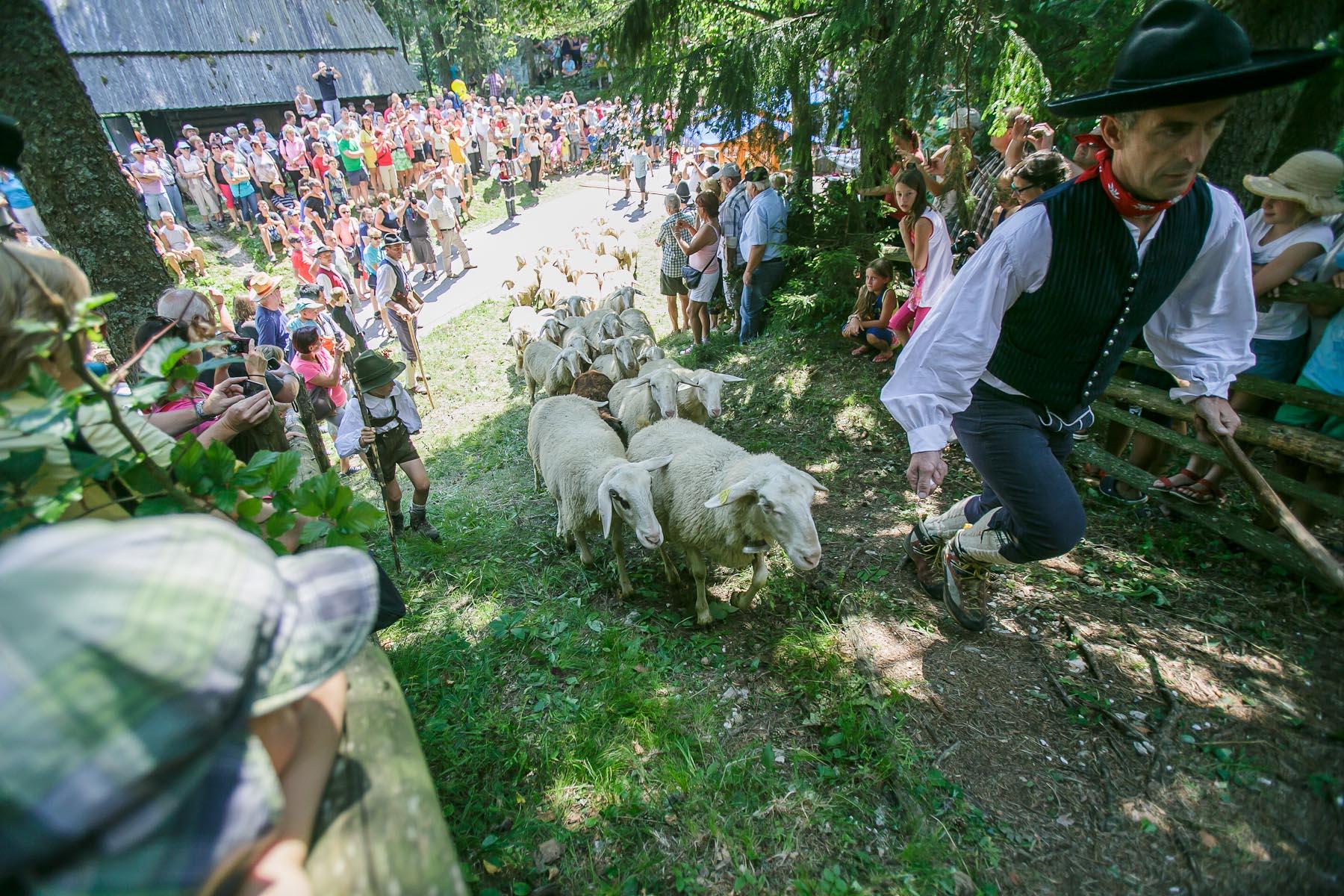 Shepherds herd the sheep to the 57th annual Shepherds Ball in Jezersko, Slovenia.