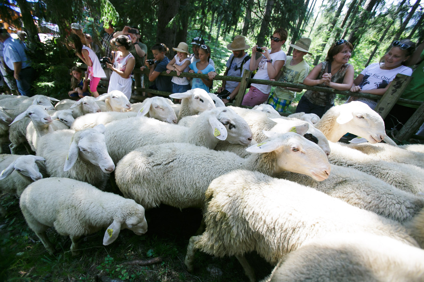 Sheep arrive to the 57th annual Shepherd\'s Ball in Jezersko, Slovenia.