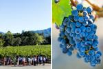 Beringer-Vineyards-Private-Reserve-2-Cabernet-Sauvignon-Release
