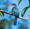 Cuban-Trogon-national-bird-2