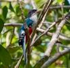 Cuban-Trogon-national-bird
