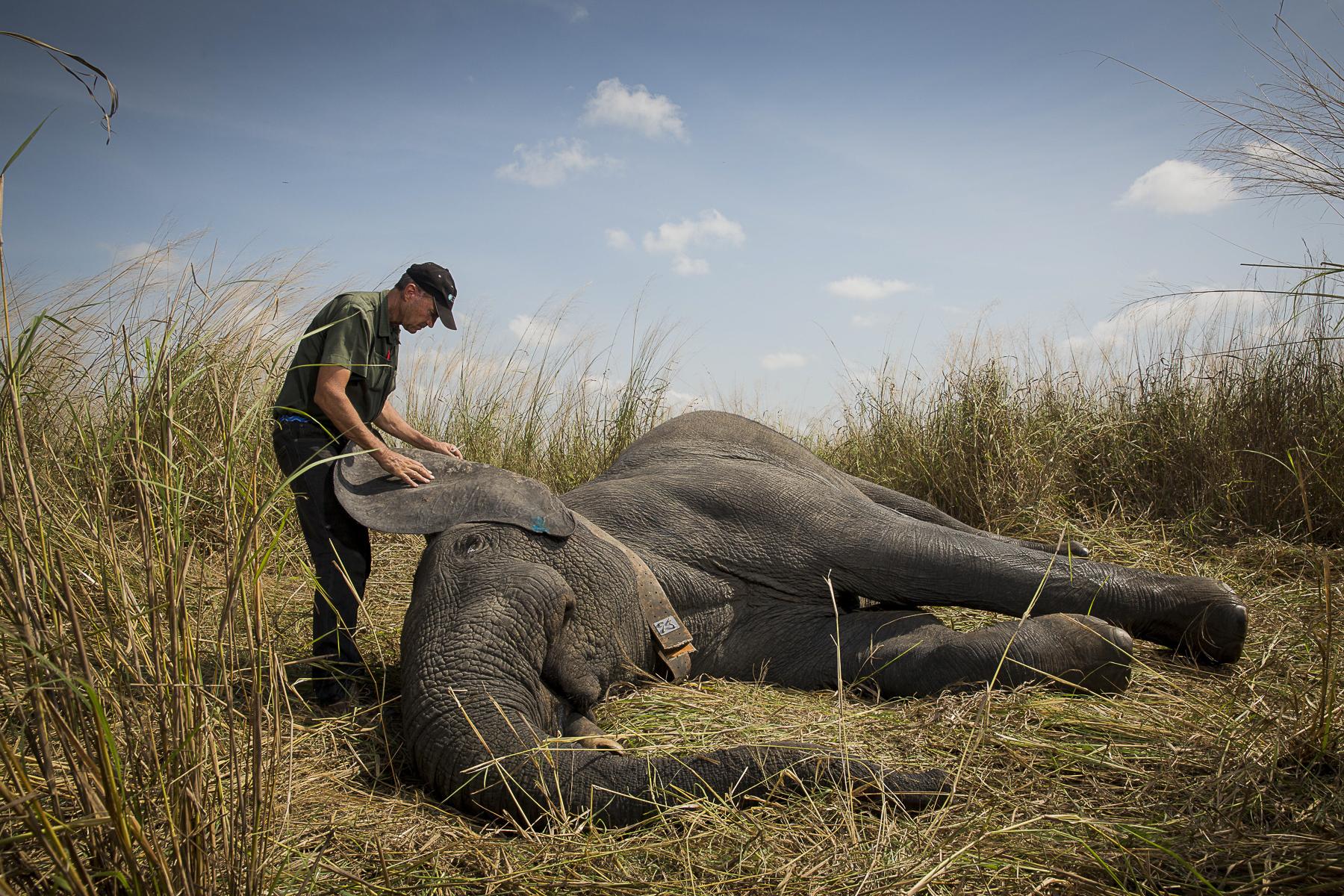 RDC, mars 2014. Le veterinaire sud africain Pete Morkel va injecter un antidote à un éléphant du parc de la Garamba pour le réveiller.DRC, March 2014. South African veterinary Pete Morkel is about to inject an antidote to an elephant of Garamba Park to wake him up.