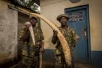 DRC, mars 2014. Des membres de l'unité anti braconnage du parc de la Garamba exibent des défenses d'éléphant confisquées à des braconniers dans l'enceinte du parc.