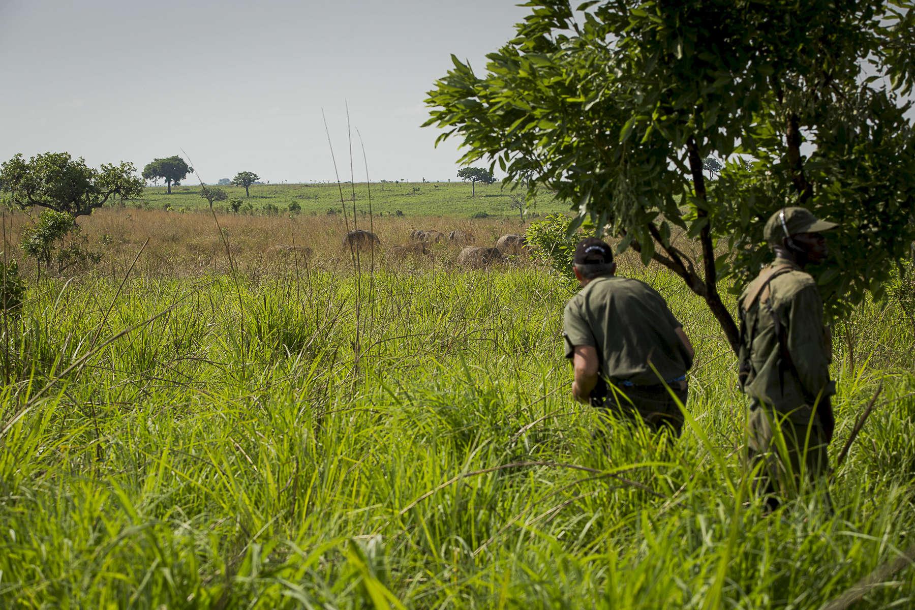Le parc national de la Garamba, situé dans le haut Uhelé province Oriental de la République Démocratique du Congo est le refuge de la dernière grande concentration d\'elephants d\'Afrique centrale. Il n\'est pas rare d\'y observer des regroupements de 300 à 400 élephants. On y trouve de manière unique, des élephants \{quote}Forestiers\{quote} des éléphants de\{quote} savanes\{quote} et des éléphants \{quote}hybrides\{quote} qui mélanges les deux sous-éspèces. Ce parc géré par African Parks a été et reste en proie à d\'énormes difficultées dues aux incurtions de la LRA mais surtout au braconage local mais majoritairement venu du Sud Soudan dont le parc est frontalier à son extremité nord. Nous avons suivi les équipes de vétérinaitres et biologiste du parc mais aussi le vétérinaire anèstesiste sud africain Pete Morkel venu traqué et endormir des éléphants à l\'aide d\'un fusil à air comprimé et au péril de sa vie, afin de poser des colliers émméteurs sur lmes annimaux. Grace à la géolocalisation via satelites, les équipes de Luis Aranz le directeur du parc, pourrons suivre la migration des élephants hors du parc et mieux les protéger des braconniers.