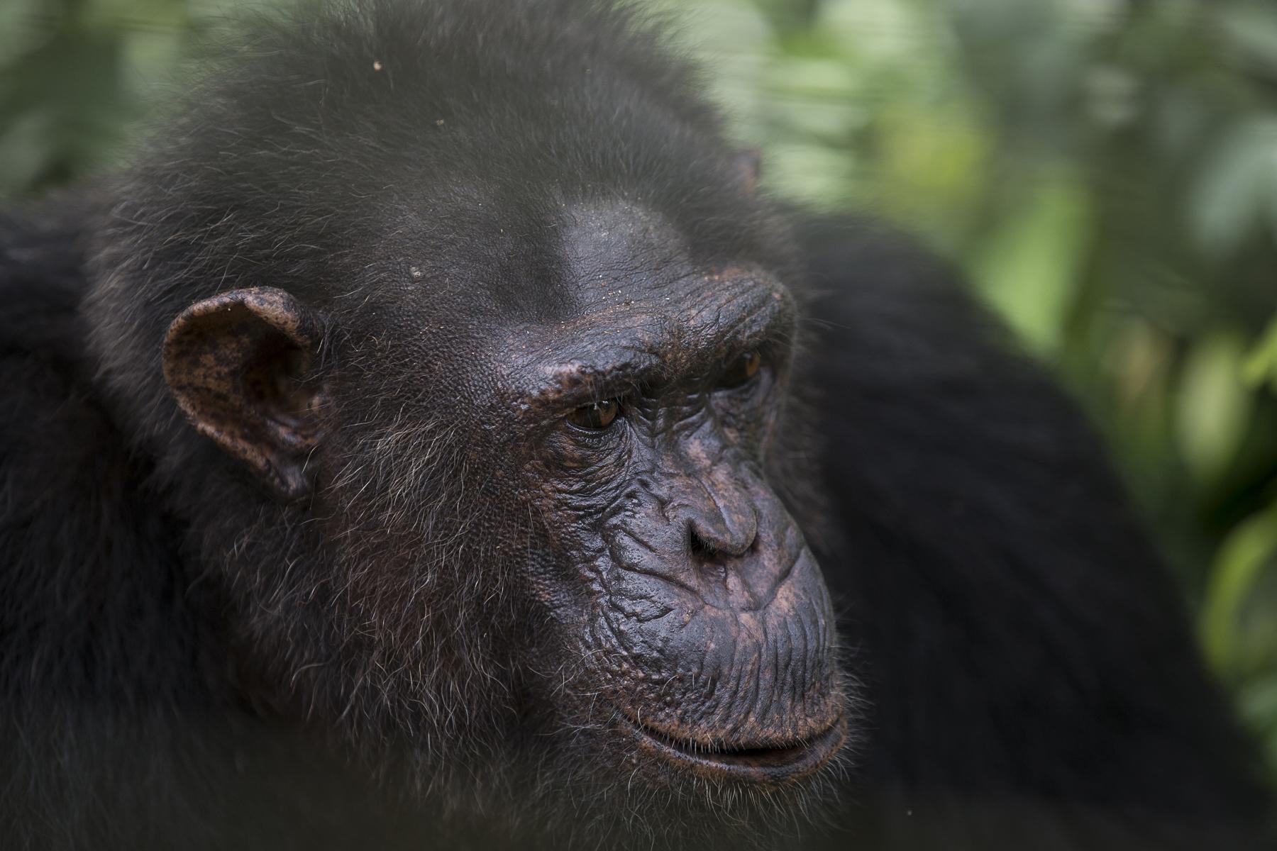 Sanctuaire Ape Action Africa qui à 45 mn de Yahoudé receuil les primates orphelins.