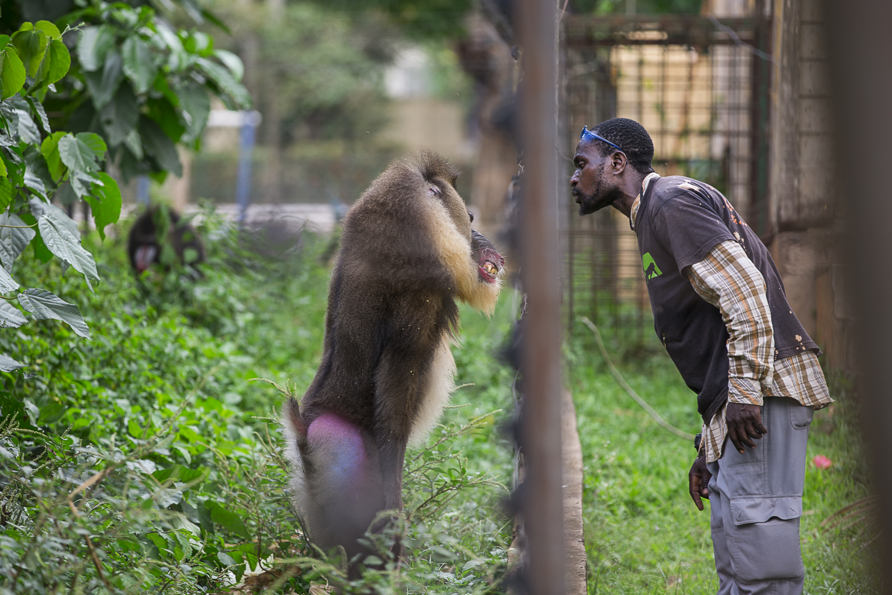 Cameroon, May 2015. At Mvog-Betsi Zoo in central Yaoundé, the alfa male of the Mandril enclosure stans up in front of the keeper.Cameroun, mai 2015. Parc Zoologique de Mvog-Betsi au centre de Yaoudé. Un mandrille, male dominant de l'enclos, tient tête à son gardien.