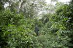 Des pygmés de la région de Koumala à 8 km du point zéro chasse le singe dans la forêt équotorial. Ils utilisent un vieux fusil belge à un coup \{quote}Simplex \{quote} de calibre 16.
