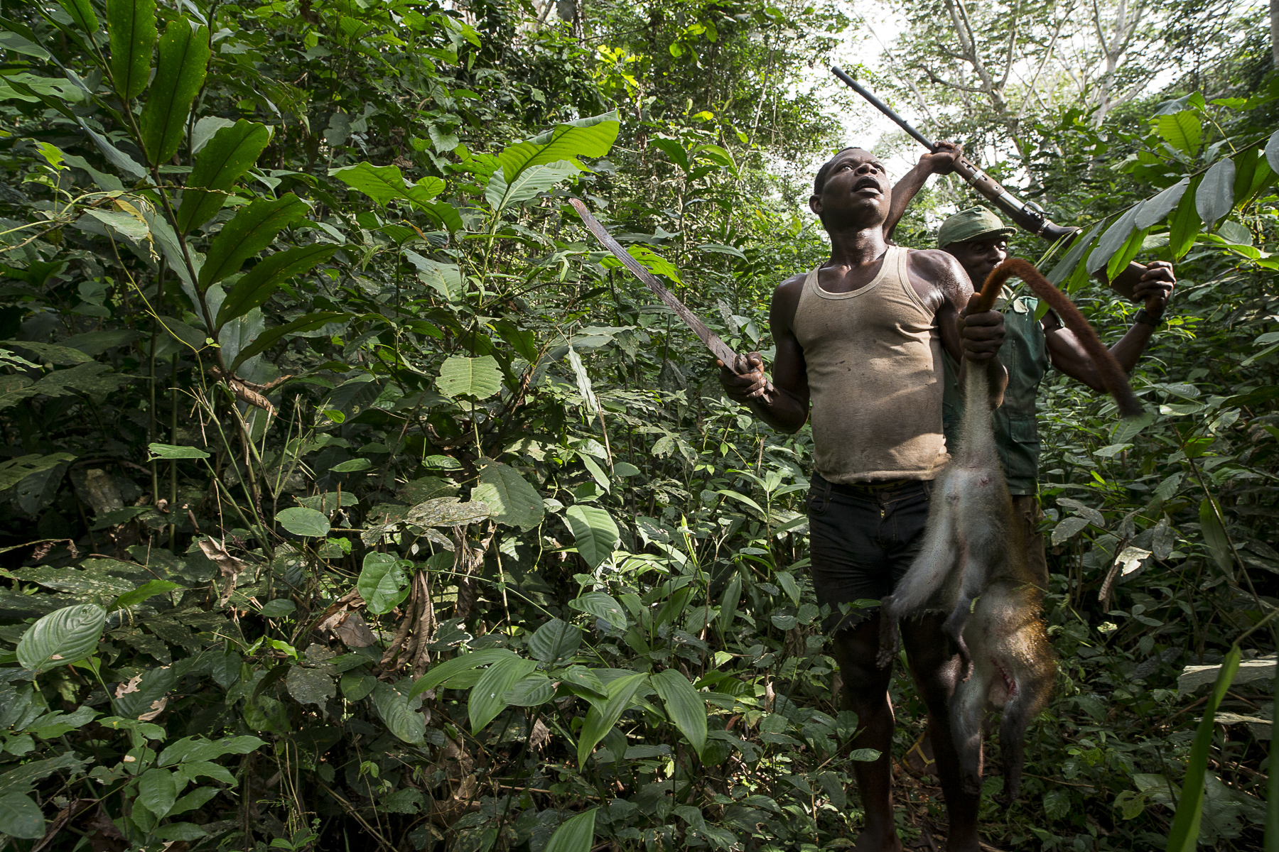 Cameroun, mai 2015. Des pygmés de la région de Koumala à 8 km du point zéro chasse le singe dans la forêt équotorial.Cameroon, May 2015. Pygmees hunting monckeys in Koumala region, 8 km from point zero in the equatorial forest.