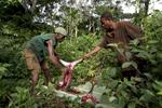C\'est en effectuant ce geste de dépecage d\'un singe vers 1908 que le patient Zéro à été contaminé dans cette forêt par le chinpanzé qu\'il avait tué ou plus probablement qu\'il avait racheté à un pygmé. C\'est le geste qui a débuté l\'épidémie mondiale du SIda et provoqué la mort d\'environ 65 millions d\'êtres humains.