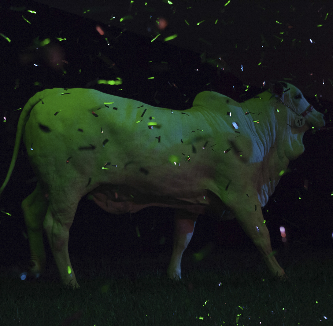 Female calf enters an auction during ExpoZebu Cattle Fair. Uberaba, Brazil, 2013