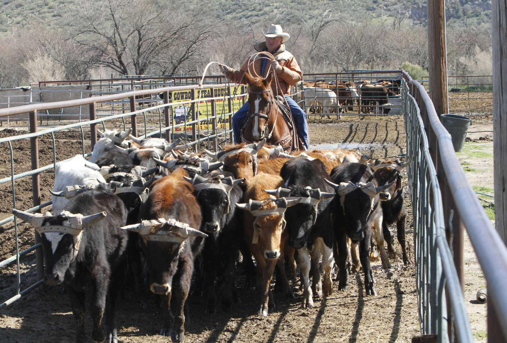 A cowboy herds the cows as team roping competitors prepare to compete at Horse World Arena located at Rincon Road and US93 in Wickenburg, Arizona on Frebruary 23, 2010
