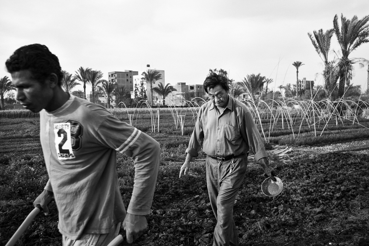 CAIRO, EGYPT - APRIL 3 : Mao Ting, an illegal Chinese migrant farmer works with his family planting Chinese vegetables on April 3, 2012 in Fayoum, Egypt.
