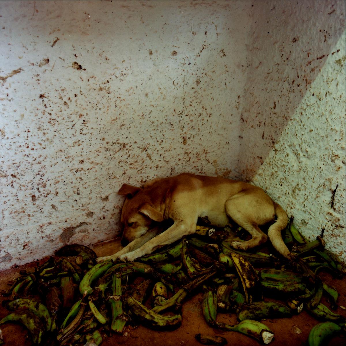 A stray dog sleeps on a bed of discarded plantains.Havana, Cuba