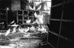 Eduardo's Birds: A cuban photographer, friend, and bartender, also raises birds for Santeria rituals and sacrifices.
