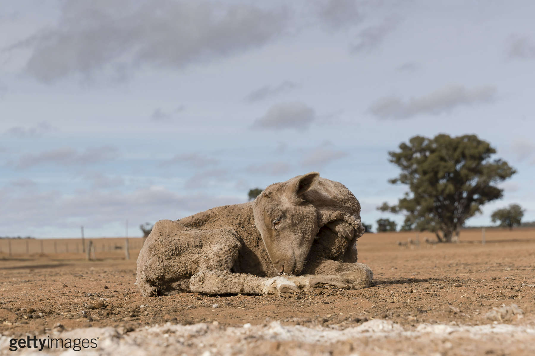COONABARABRAN , NEW SOUTH WALES - JUNE 20:  A sheep to weak to eat a feed of cotton seed on the Jerry family farm 'Marlborough', 40 km outside Coonabarabran. The New South Wales State government recently approved an emergency drought relief package of A$600m, of which at least A$250m is allocated for low interest loans to assist eligible farm businesses to recover. The package has been welcomed, though in the words of a local farmer {quote}it barely touches the sides{quote}. Now with the real prospect of a dry El-Nino weather pattern hitting the state in Spring, the longer term outlook for rain here is dire. June 20, 2018 in Coonabarabran, Australia.  (Photo by Brook Mitchell/Getty Images)