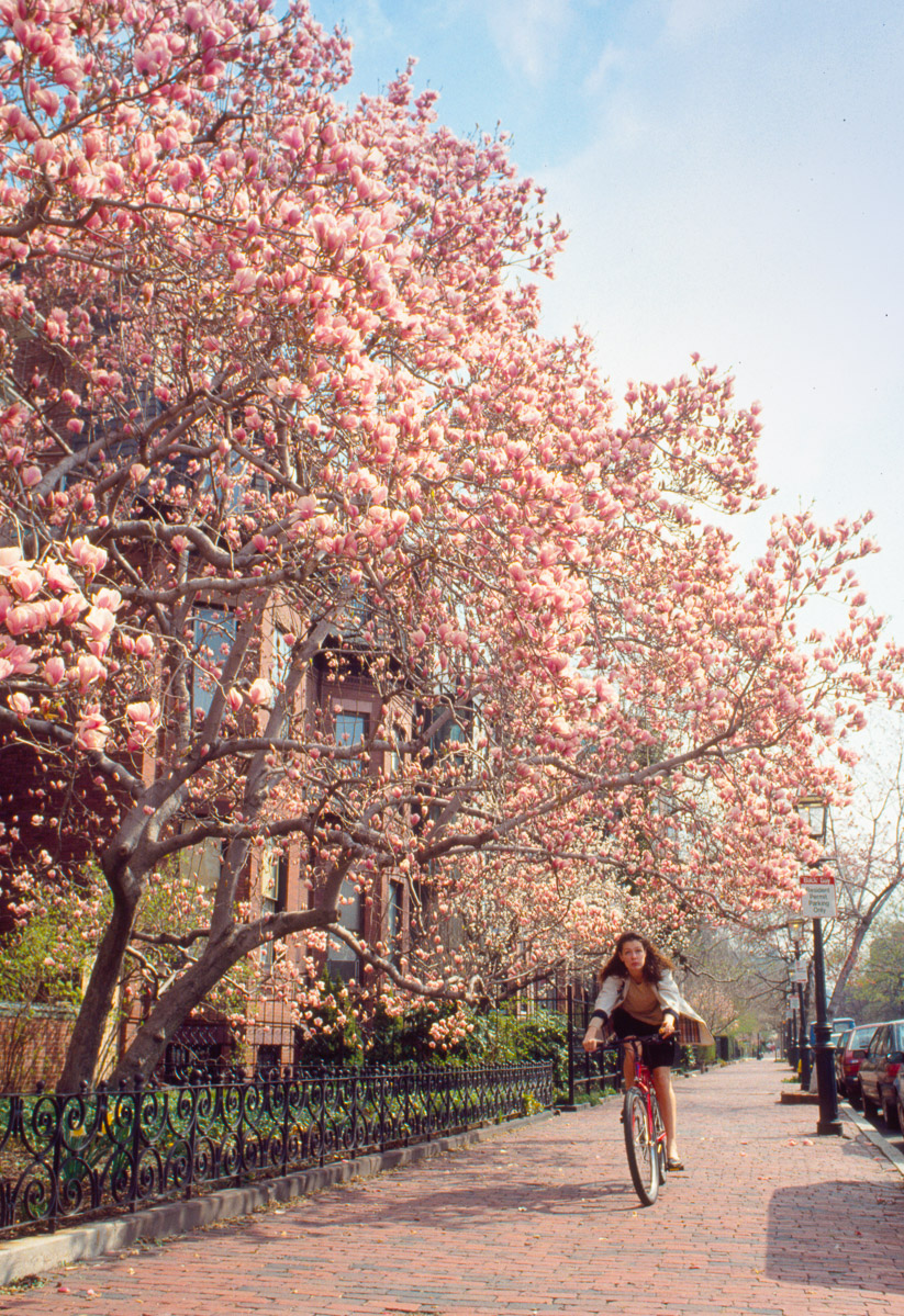 Comm-Ave-in-bloom