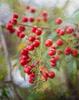 Berries_KneppR