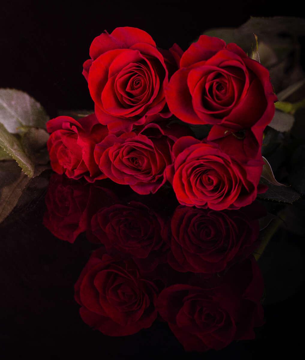 Roses_KneppR