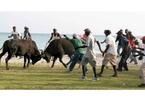 Haitian Bull Fight
