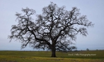 Big Oak at Table Mountain, Spring, Butte County