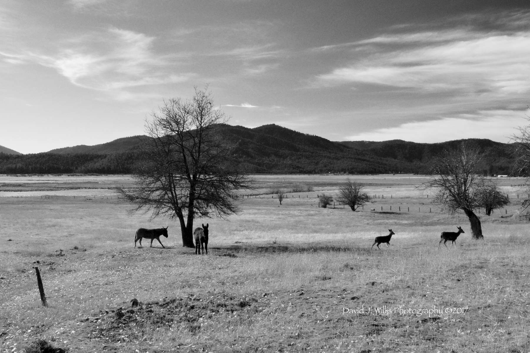 Donkeys and Deer, Indian Valley, Plumas County