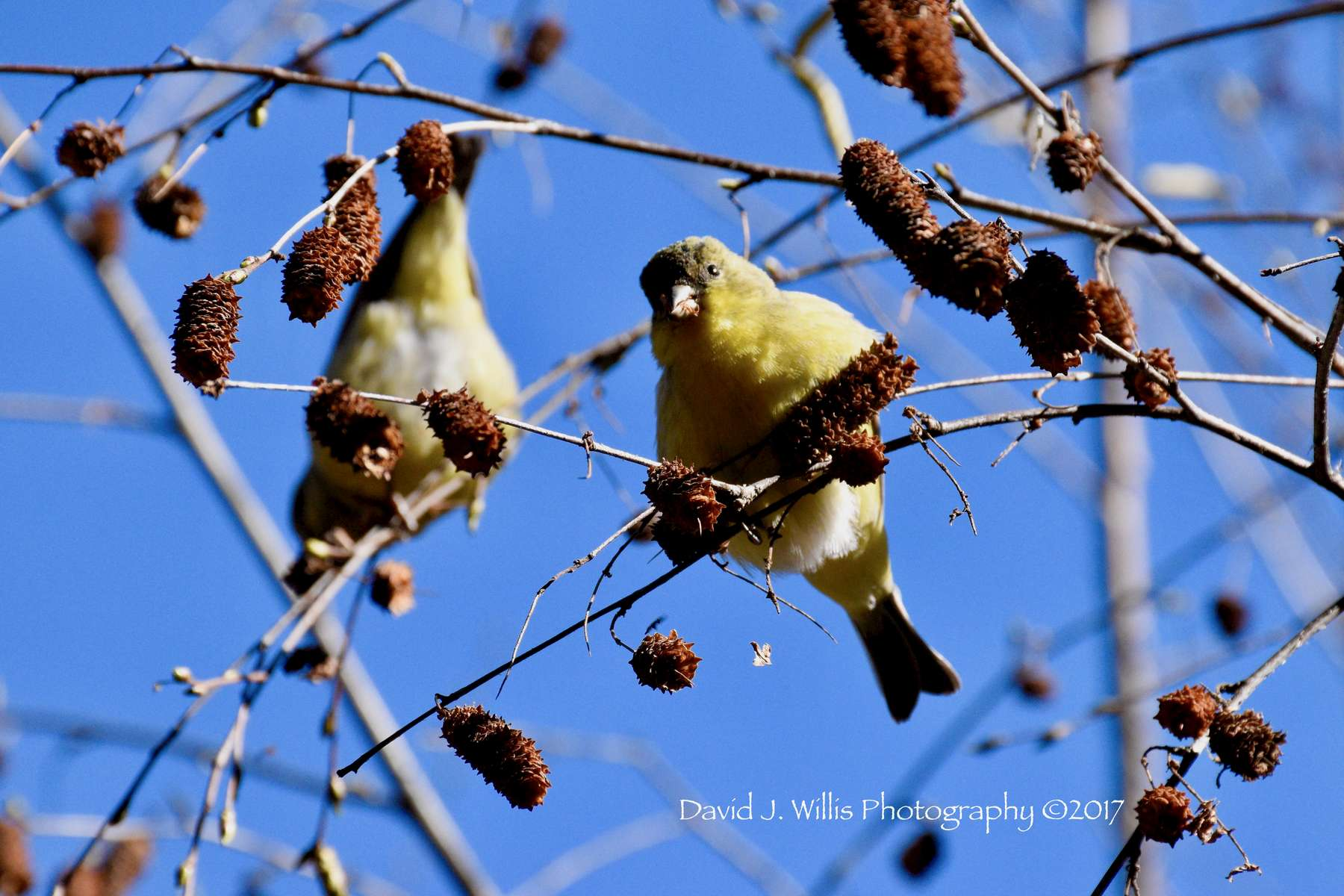 Goldfinch in Birch, Plumas County