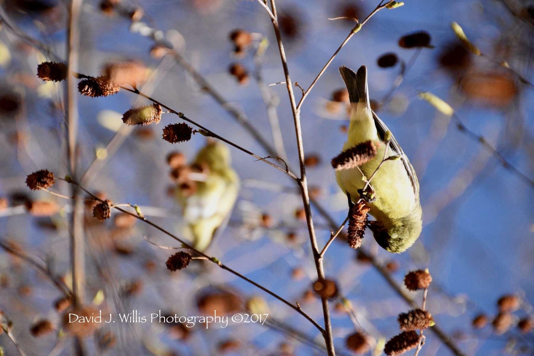 Goldfinch in Birch II, Plumas County