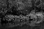 Rock Wall, Indian Rhubarb, Indian Creek, Fall, Plumas County