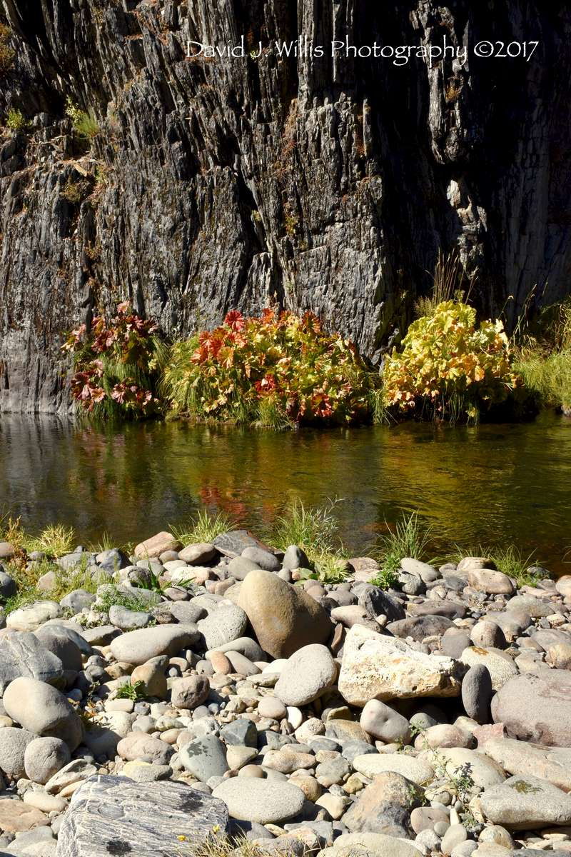 Rocks and Indian Rhubarb, Middle Fork Feather River, Nelson Point, Plumas County
