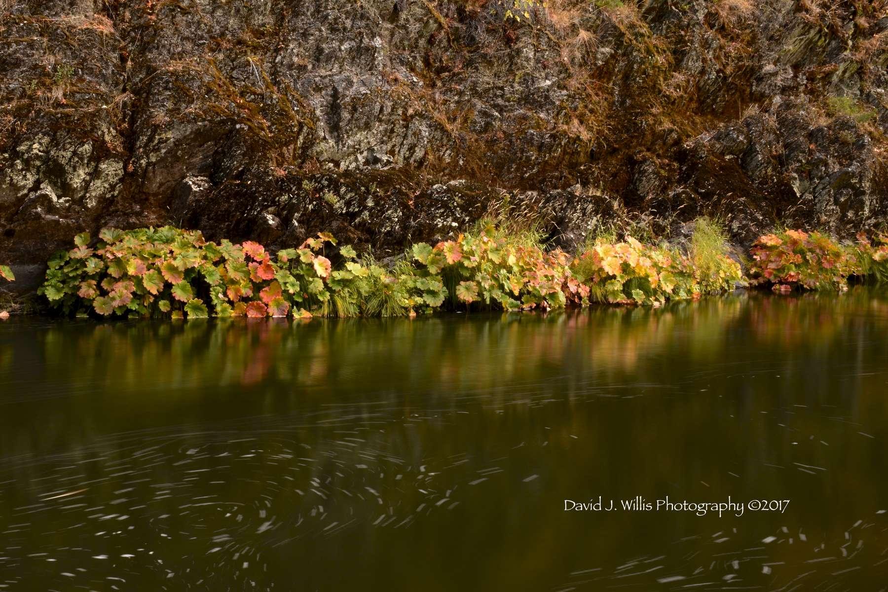 Indian Rhubarb, Indian Creek, Fall, Plumas County