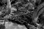 Roots and Rocks on Rock Creek,Feather River Canyon, Plumas County