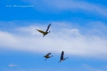 Sandhill Cranes at Round Valley Reservoir, Plumas County