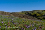 Table Mountain, Wildflowers,Spring, Butte County