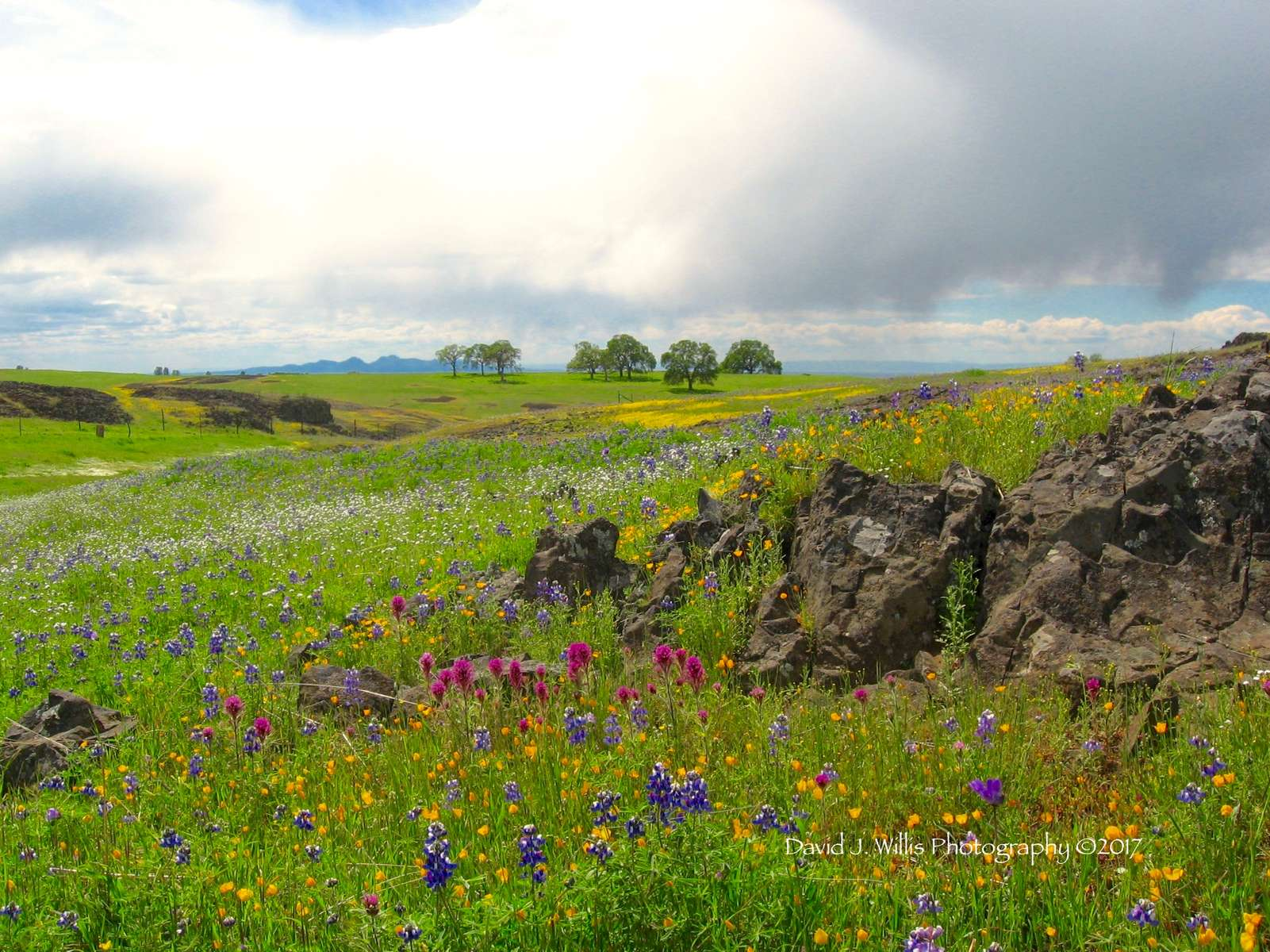Table Mountain Wildflowers and Sutter Buttes, Spring, Butte County