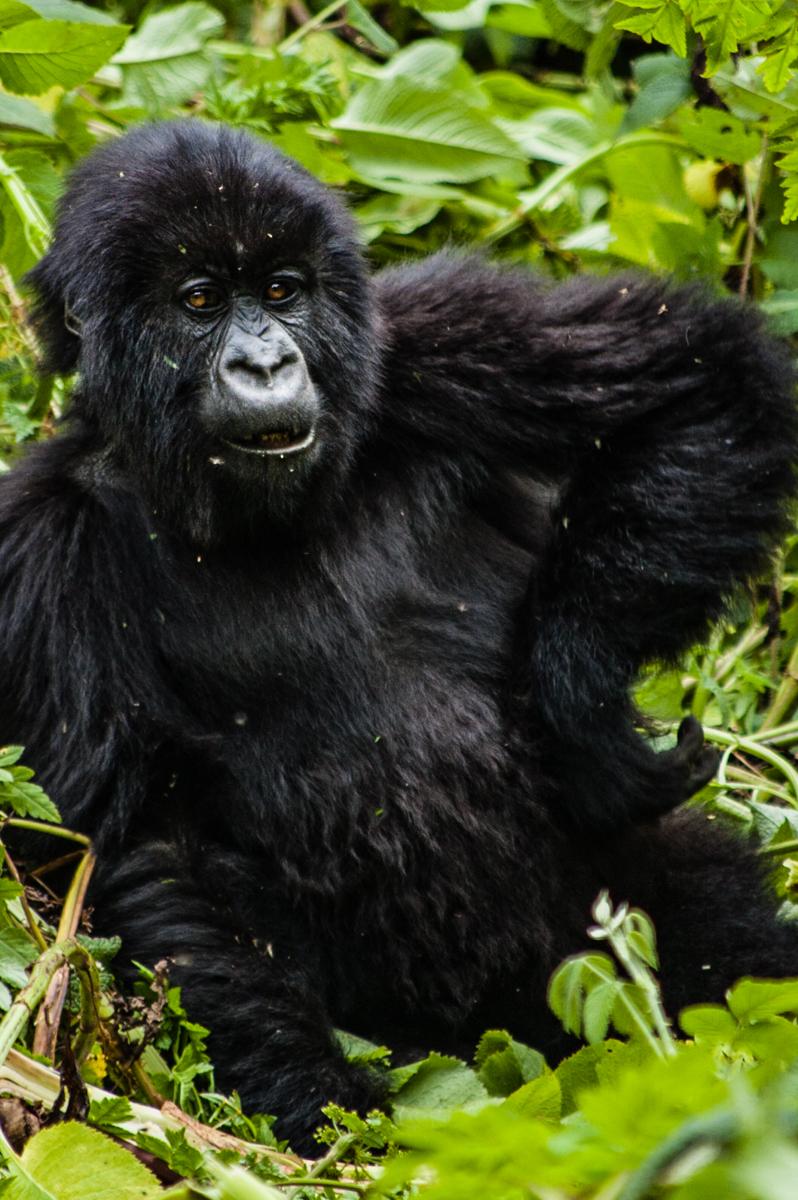 20110115-Rwanda-Gorillas-350