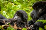 20110115-Rwanda-Gorillas-375