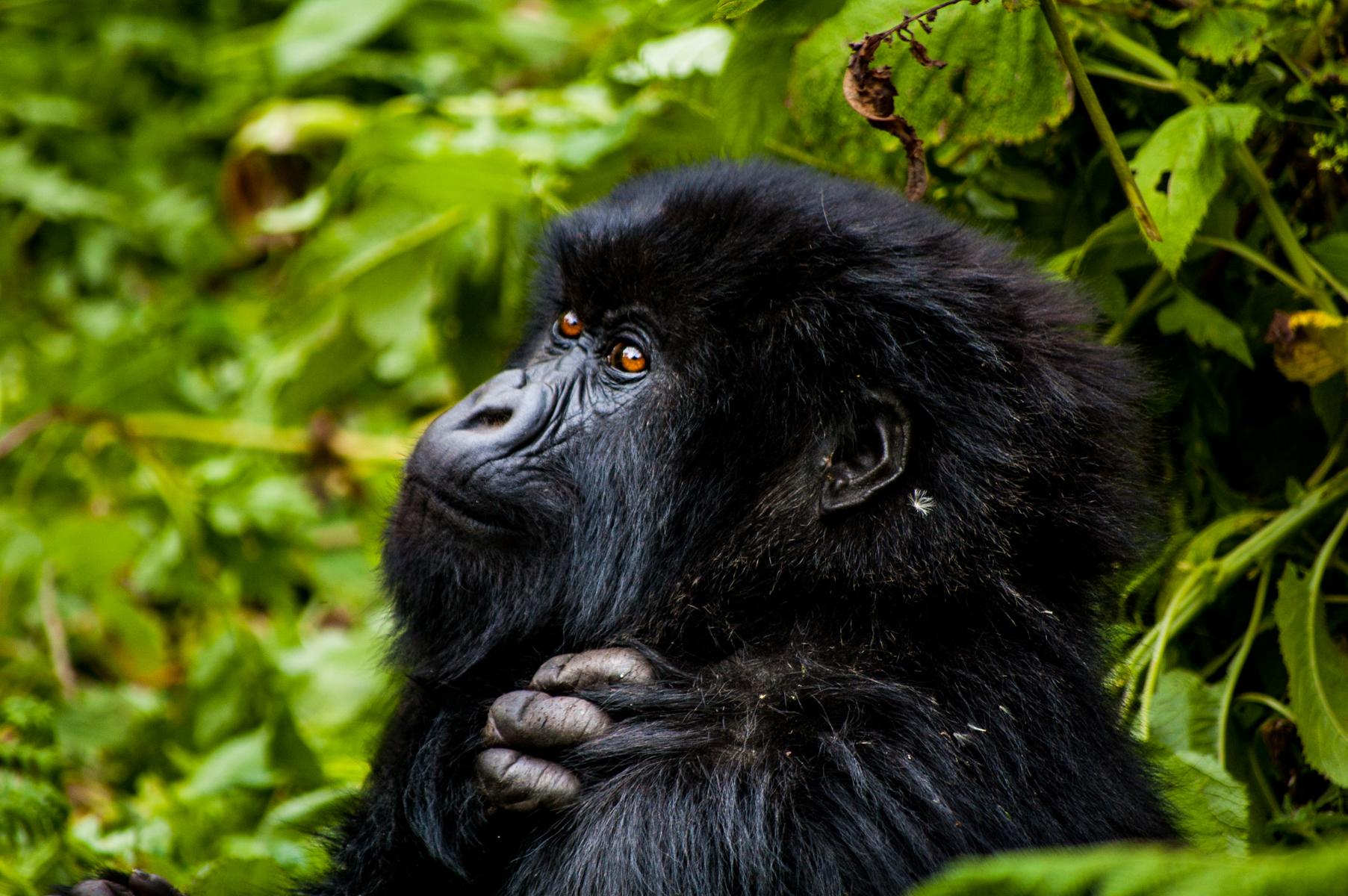 20110115-Rwanda-Gorillas-385