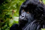 20110115-Rwanda-Gorillas-394